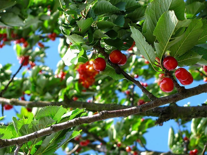 cherry-212601_1280