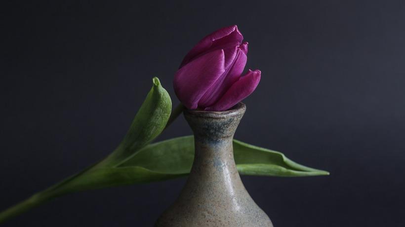 tulip-1731908_1920