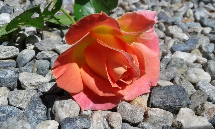 rosa-1636412_1920
