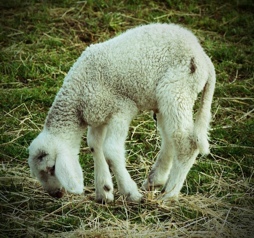 lamb-542635_1920