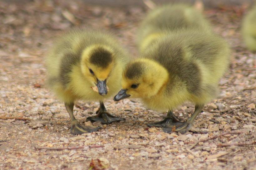 duckling-2659938_1920.jpg
