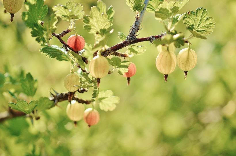gooseberry-176450_1920.jpg