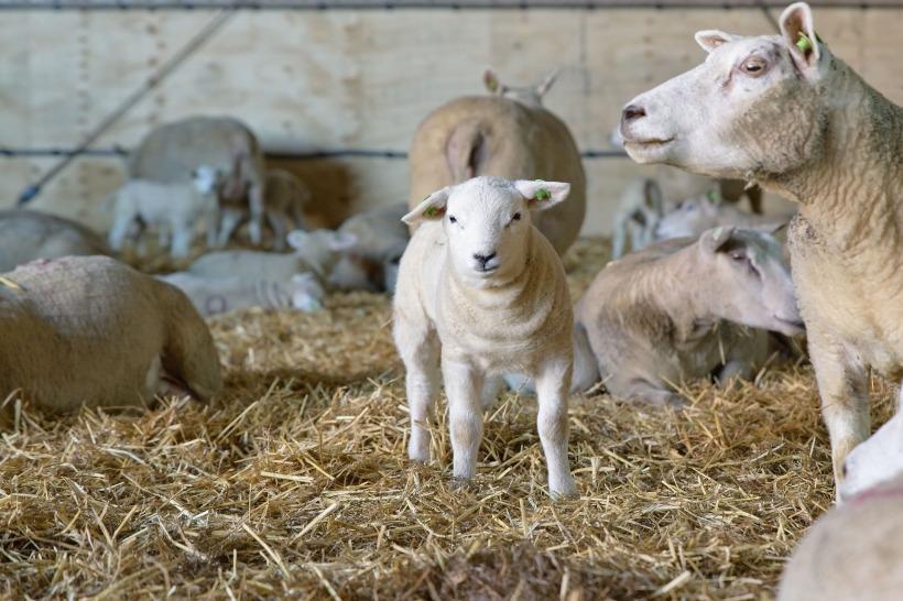 sheep-4023110_1920.jpg